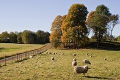 Schafe in autmn Landschaft Stockbild