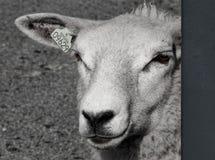 Schafe in b/w Stockbilder