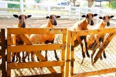 Schafe Barbado Blackbelly, welche die Aufmerksamkeit fokussieren Lizenzfreies Stockfoto