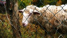 Schafe am Bauernhof stock video