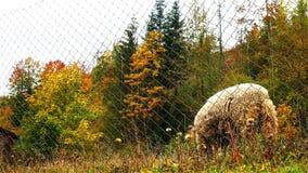 Schafe am Bauernhof stock video footage