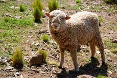 Schafe Beeing neugierig lizenzfreies stockbild