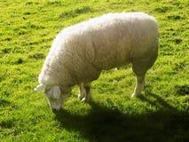 Schafe bei Crookham, Northumberland, England Lizenzfreie Stockfotografie