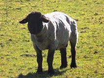Schafe bei Crookham, Northumberland, England Großbritannien Lizenzfreie Stockfotos