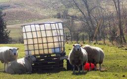 Schafe bei Crookham, Northumberland, England Großbritannien Stockfotografie
