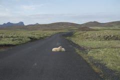 Schafe bei Krysuvik Stockfotos