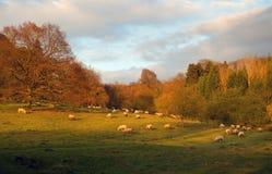 Schafe bei Sonnenuntergang, England Stockbilder