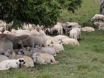 Schafe am Berg stock video