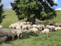 Schafe am Berg stock video footage