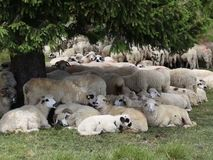 Schafe am Berg stock footage