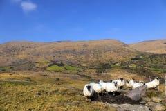 Schafe in Caha-Bergen, Glengariff, Grafschafts-Korken, Irland Stockfotos