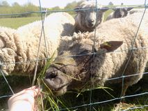 Schafe in Crookham, Nord-Northumberland, England Lizenzfreie Stockbilder