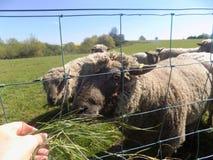 Schafe in Crookham, Nord-Northumberland, England Stockfoto