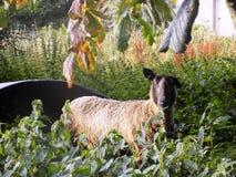 Schafe @ Crookham, Northumberland, England Lizenzfreies Stockbild