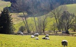 Schafe in Crookham, Northumberland, England Großbritannien Lizenzfreies Stockfoto