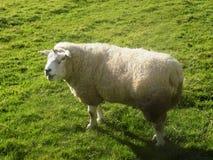 Schafe in Crookham, Northumberland, England Großbritannien Lizenzfreie Stockbilder