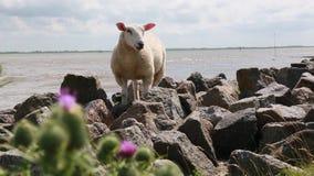 Schafe in dem Meer stock video