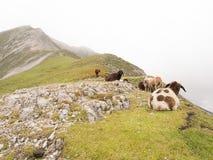 Schafe in den österreichischen Alpen Lizenzfreie Stockfotos