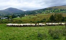 Schafe an den Abflussrinnen Stockfoto