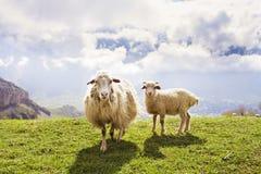 Schafe in den Bergen Lizenzfreie Stockfotos