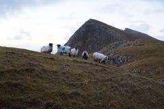 Schafe in den Bergen. Stockfoto