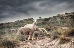 Schafe in den Bergen Lizenzfreies Stockbild
