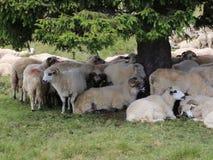 Schafe in den Bergen stock footage