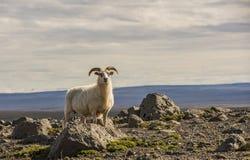 Schafe in den Bergen auf Island Lizenzfreie Stockbilder