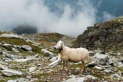 Schafe in den italienischen Alpen, Trentino lizenzfreie stockfotografie