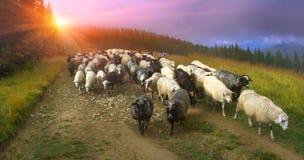Schafe in den Karpaten Stockbilder