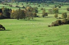 Schafe in den Wiesen Stockbild