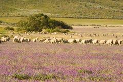 Schafe in den Wiesen Lizenzfreies Stockbild