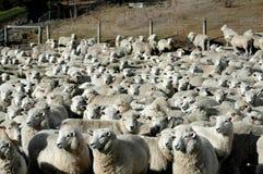 Schafe - in den Yards Lizenzfreies Stockbild