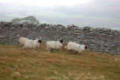 Schafe in der Aktion Lizenzfreie Stockbilder