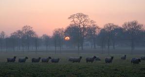 Schafe an der Dämmerung Stockfoto