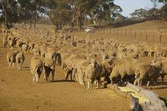 Schafe in der Dürre Lizenzfreie Stockbilder
