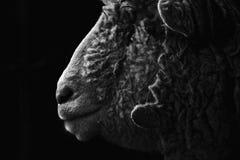 Schafe in der Dunkelheit Lizenzfreie Stockfotografie