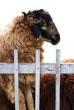 Schafe in der Falte Stockbilder