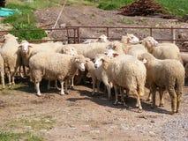 Schafe in der Feder Stockfotos