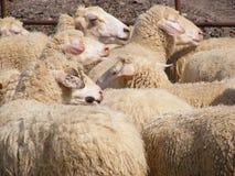 Schafe in der Feder Stockbilder