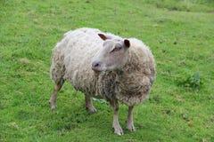 Schafe in der grünen Wiese Stockbild