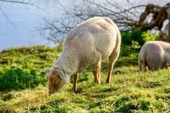 Schafe in der Herde, Zeeland, Holland Lizenzfreies Stockbild