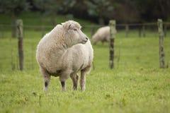 Schafe in der Koppel Lizenzfreies Stockbild