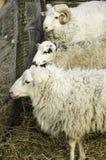 Schafe in der Koppel Stockbilder