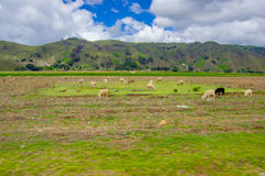 Schafe in der Lagune Quilotoa, Kratersee bei Cotopaxi, Ecuador Stockbild