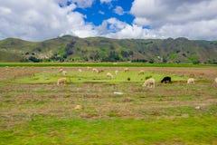 Schafe in der Lagune Quilotoa, Kratersee bei Cotopaxi, Ecuador Lizenzfreies Stockbild
