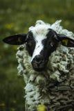 Schafe in der Landschaft von durach stockbild