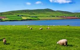 Schafe in der landwirtschaftlichen Landschaft für die Landwirtschaft Lizenzfreie Stockfotos