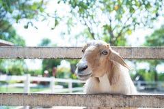 Schafe in der Natur auf Wiese lizenzfreie stockfotografie