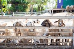 Schafe in der Natur auf Wiese lizenzfreie stockbilder